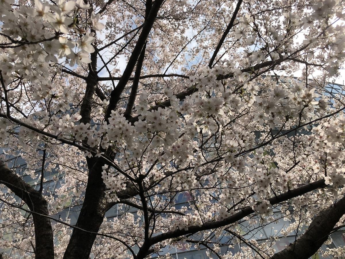 毛利庭園と桜
