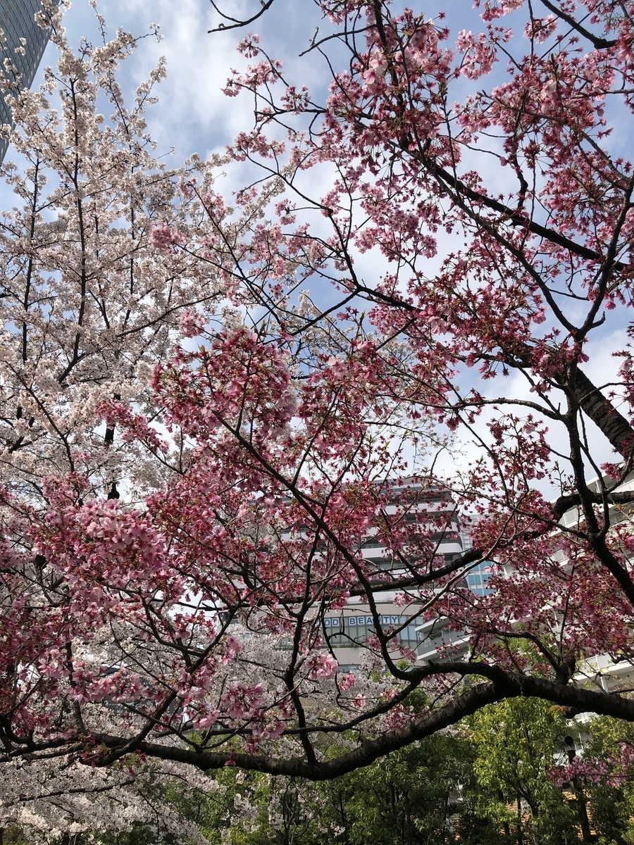 毛利庭園と桜2