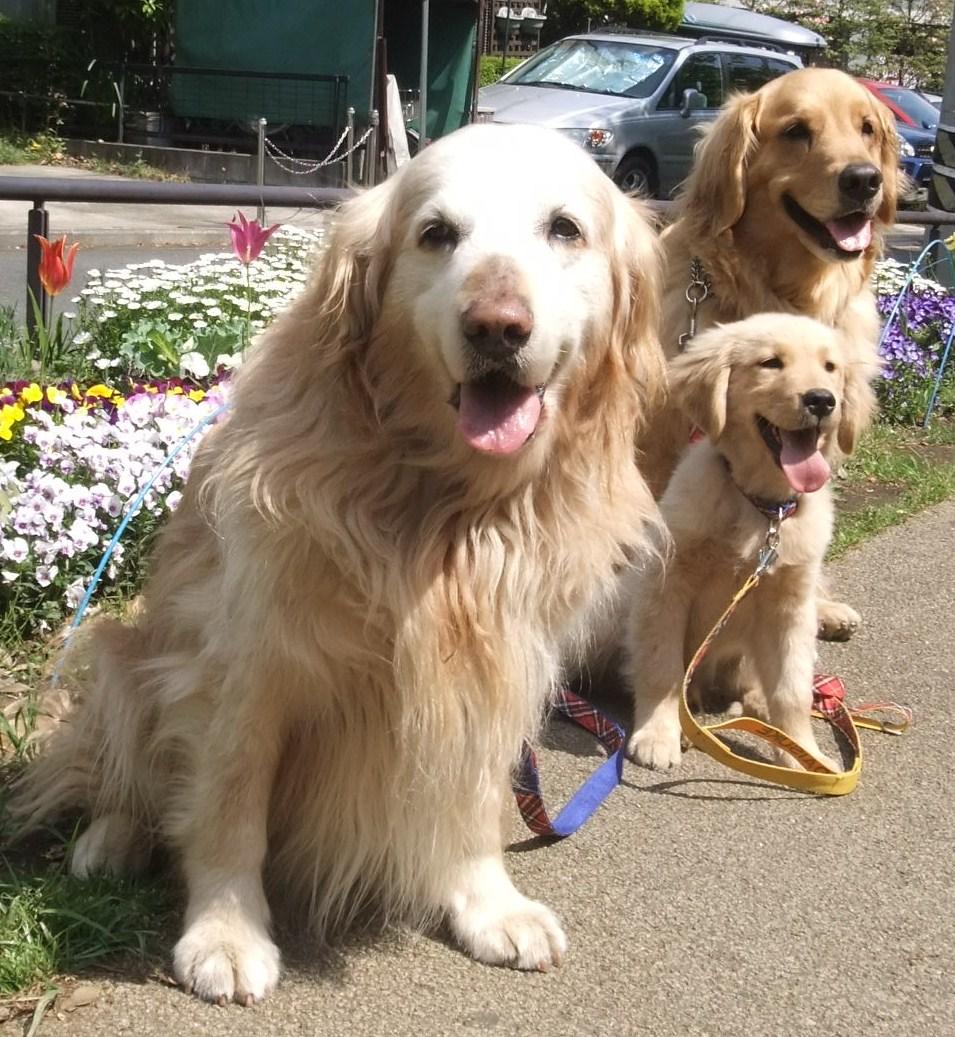 3匹のゴールデンレトリーバー