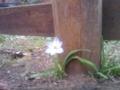 これスミレ?洗足池の桜はまだ一分か二分咲きだった。