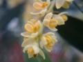 花は咲いても実はつけない。1本しかないオリーブの木。