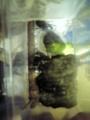 [ウインドサーフィン] 本栖湖で採れたカブトムシ