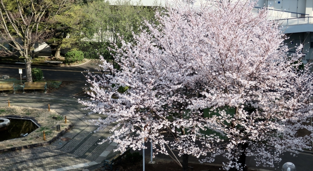 明治大学の桜