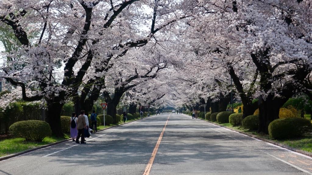 ICU 桜