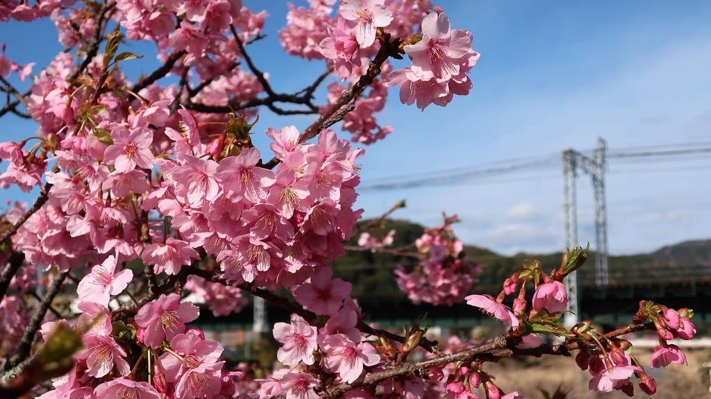 河津駅 桜