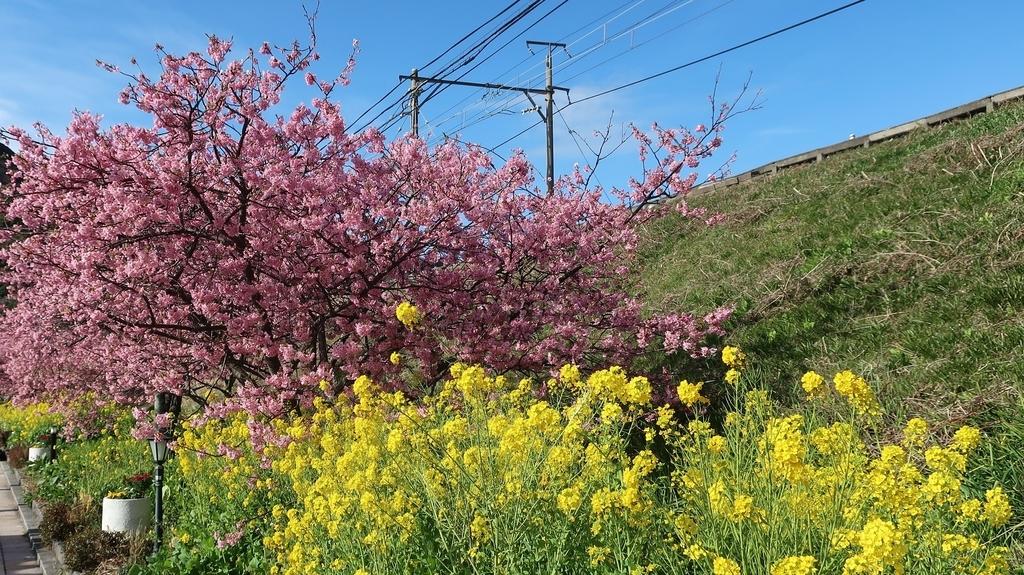 青空、河津桜、菜の花の3重奏 河津