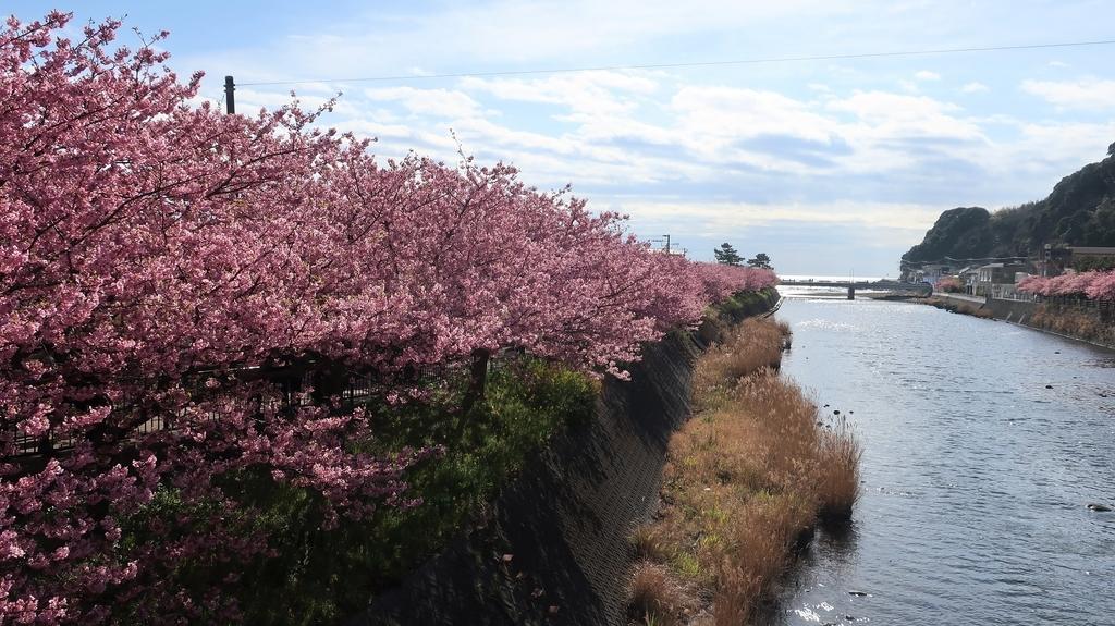 河津川沿いの桜並木!