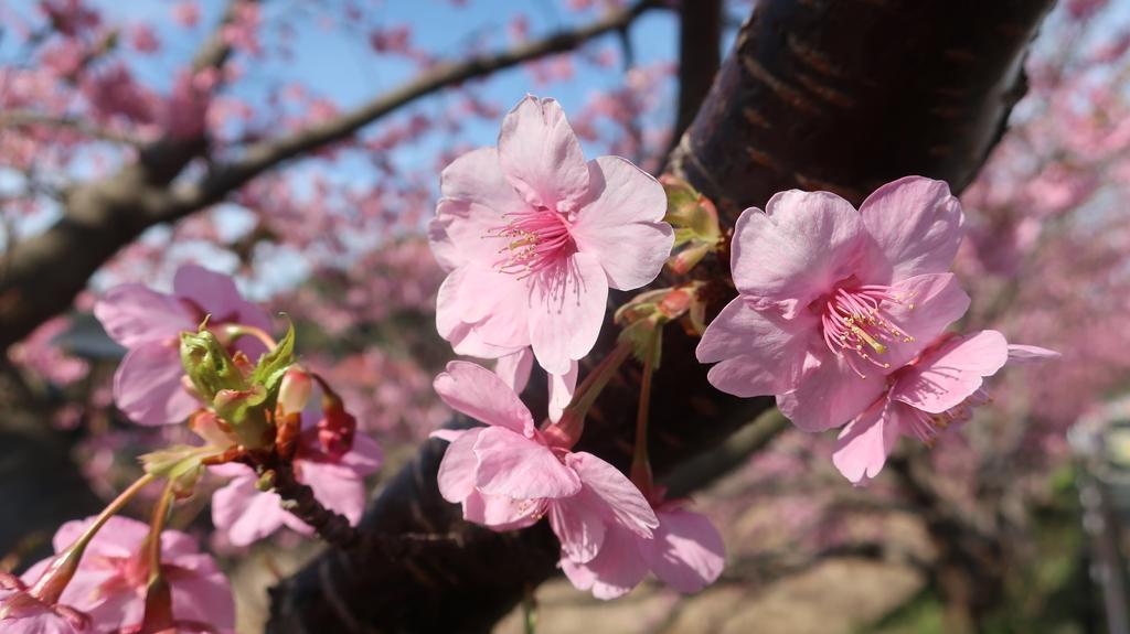 河津川沿いの桜並木!(メイン会場)