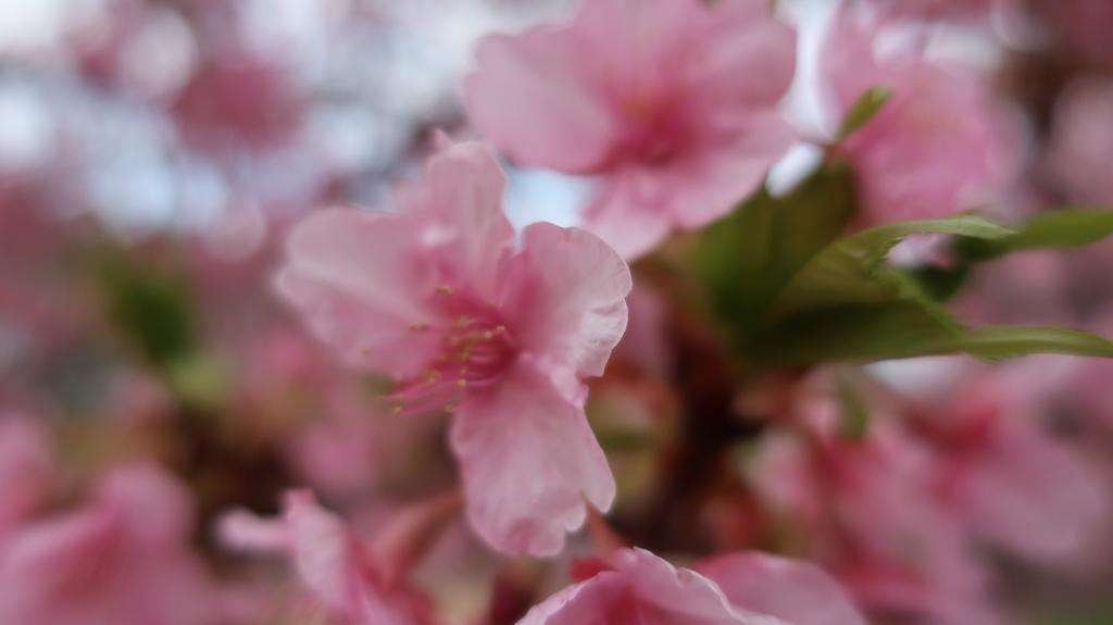 メイン会場の河津川沿いの桜並木