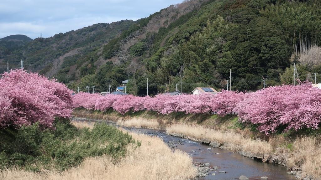 峰温泉周辺の桜並木!