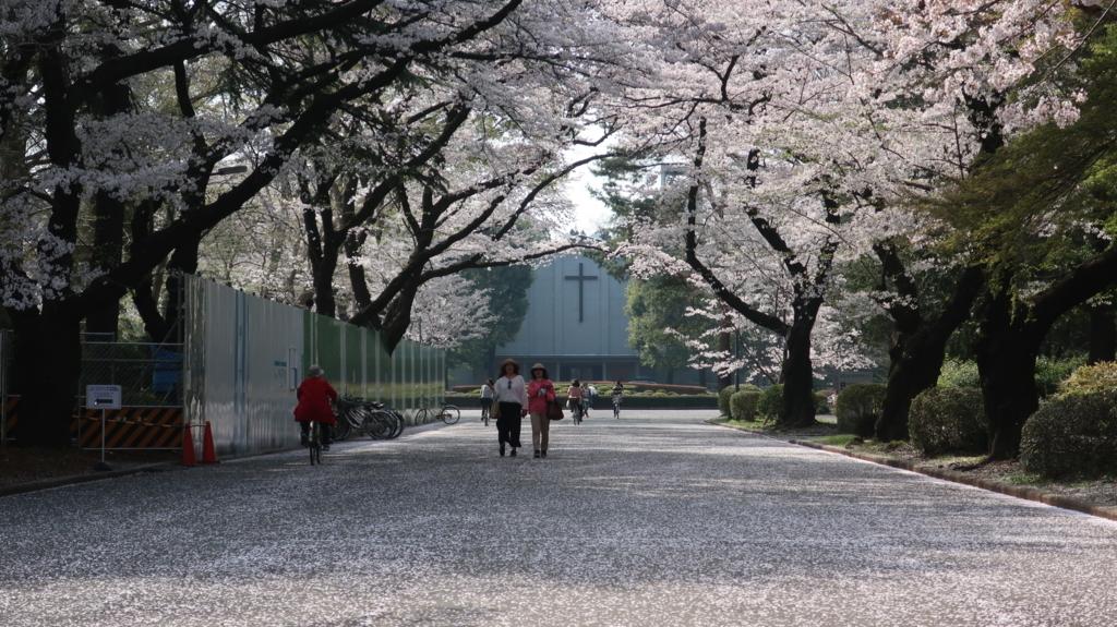 国際基督教大学 桜