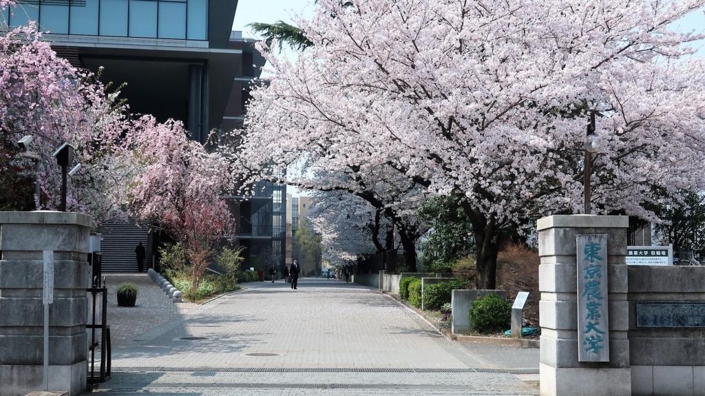 東京農業大学 桜