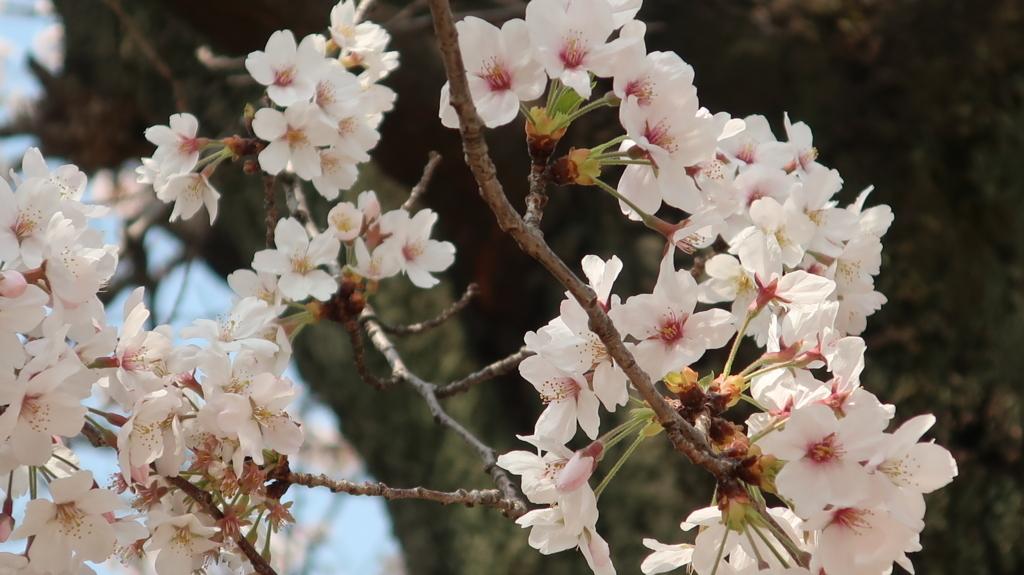 東京農業大 桜