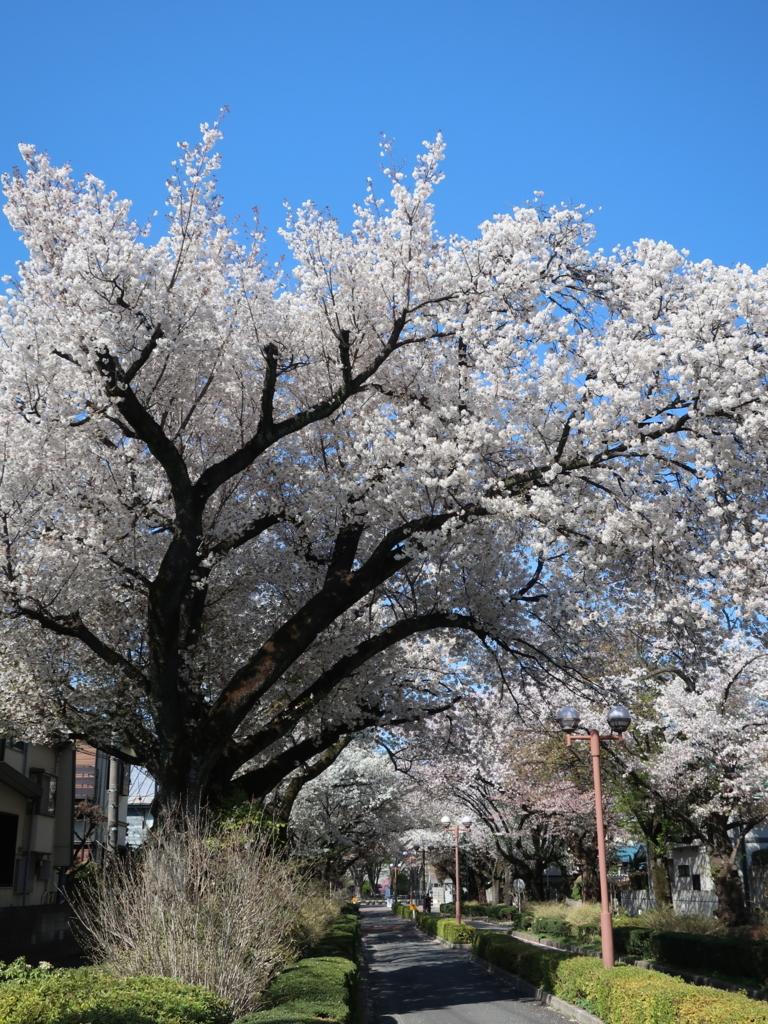 東京学芸大 桜