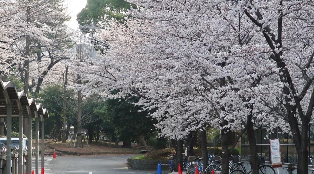 明治大の桜
