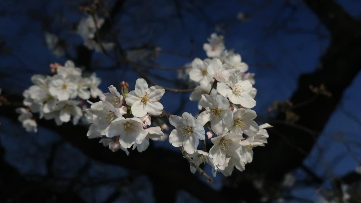 東工大 夜桜