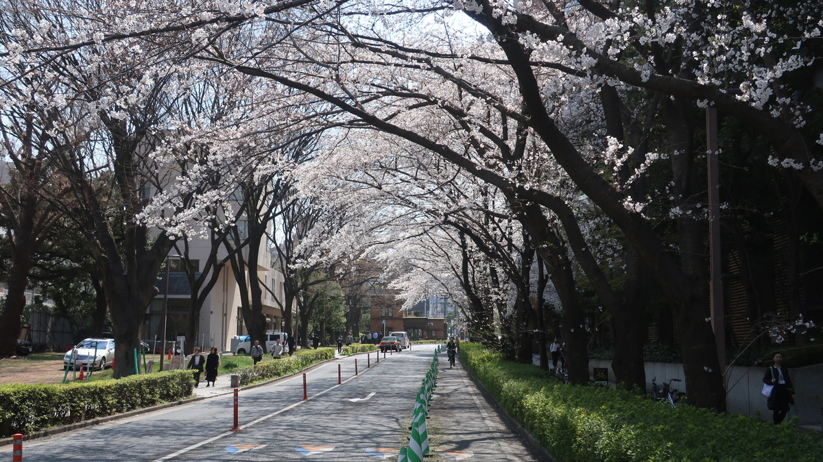 東京大 医学部附属病院 桜