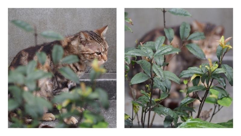 猫にフォーカスした写真(左)と手前の植物にフォーカスした写真(右)