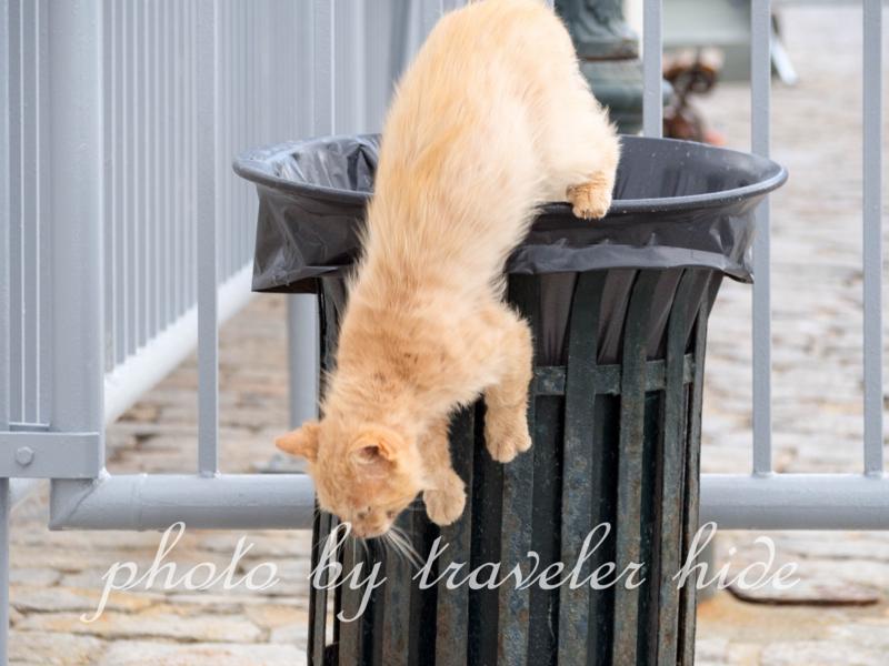ゴミ箱をあさるも収穫がなかったイドラ島の猫