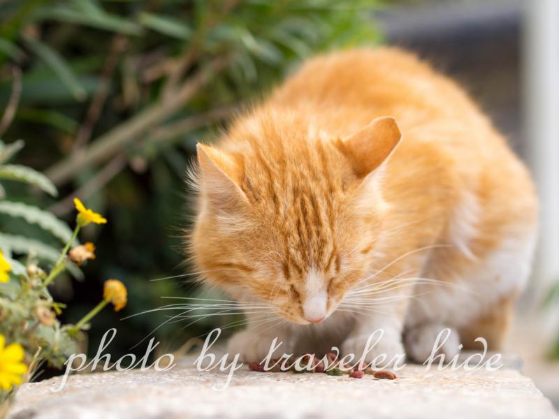 Super Kで買ったキャットフードを食べるイドラ島の猫