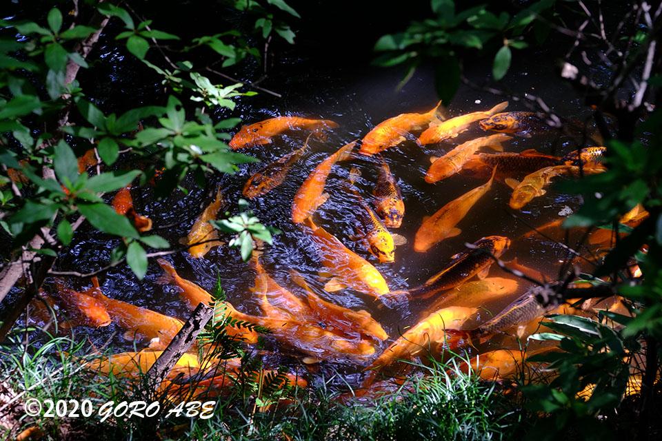 平林寺の鯉