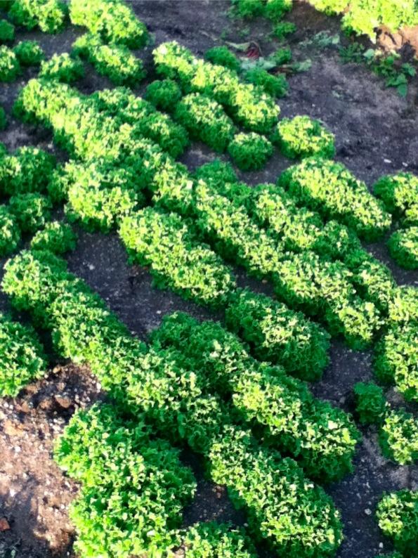 lettuceレタス