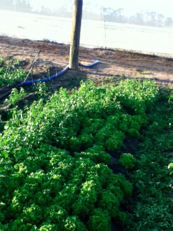 雑草とレタス