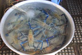 カンボジアの魚介類