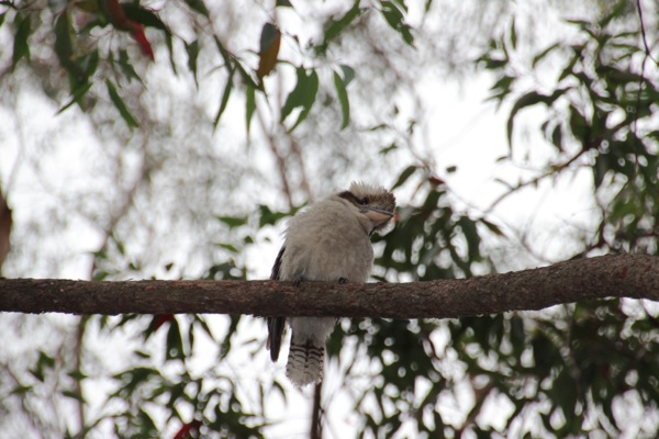 kookaburra(ワライカワセミ)