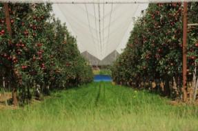 リンゴのファーム