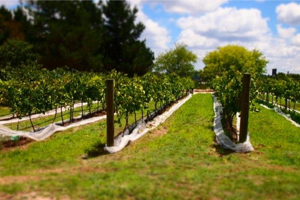 ワインの葡萄園(Vineyard)