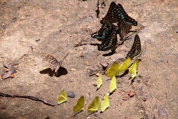 クバール スピアンにいた蝶々