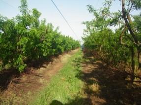 桃のファーム