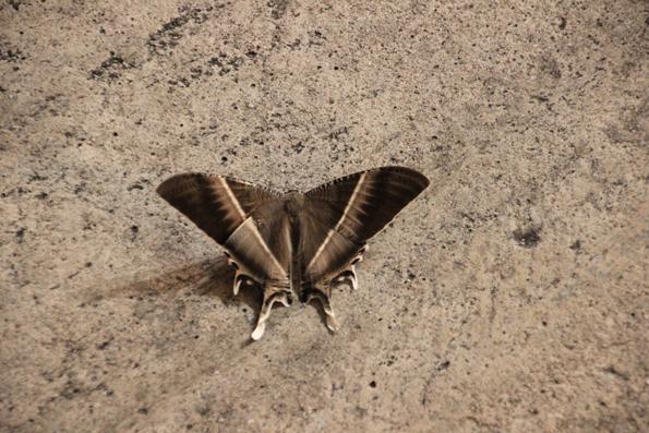 蝶々かと思いきや蛾だった