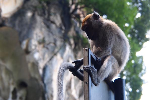 バトゥケーブの猿