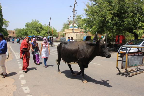 ジャイプールの牛