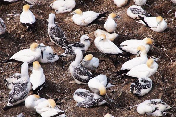 ムリワイビーチ・カツオドリのヒナ