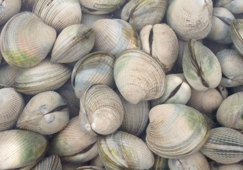 潮干狩り・シェークスピアリージョナルパークのコックル貝