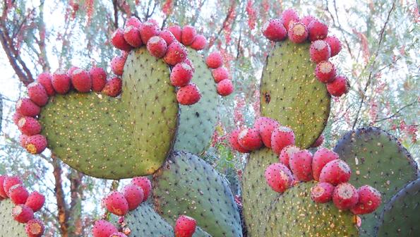 メキシコの食用サボテンとトゥナ