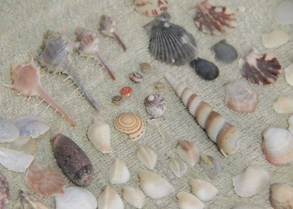 ランカウイで拾いまくった貝殻
