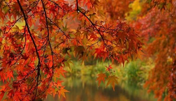 雨の軽井沢の雲場池の紅葉(もみじ)