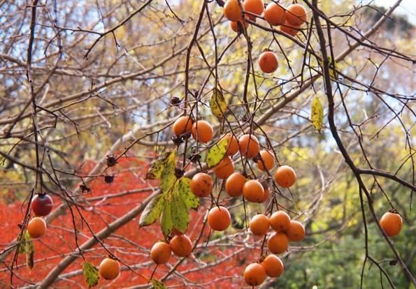 養老渓谷の柿