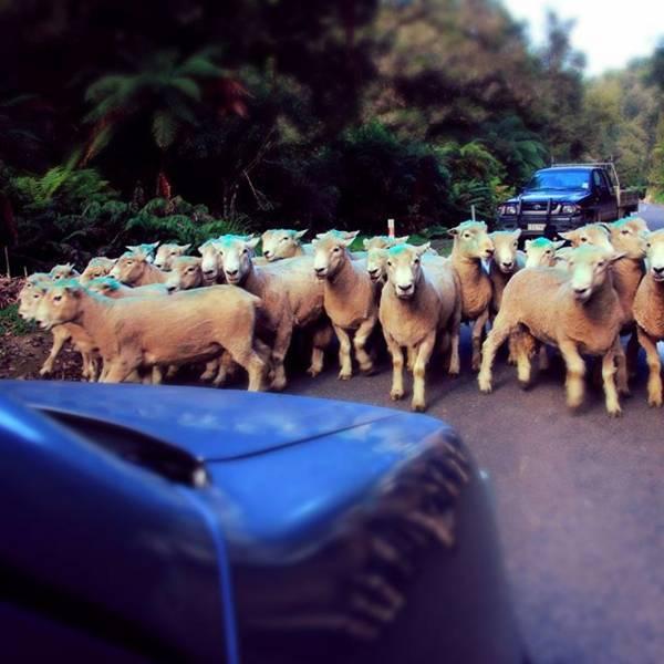 ニュージーランドの羊の大群