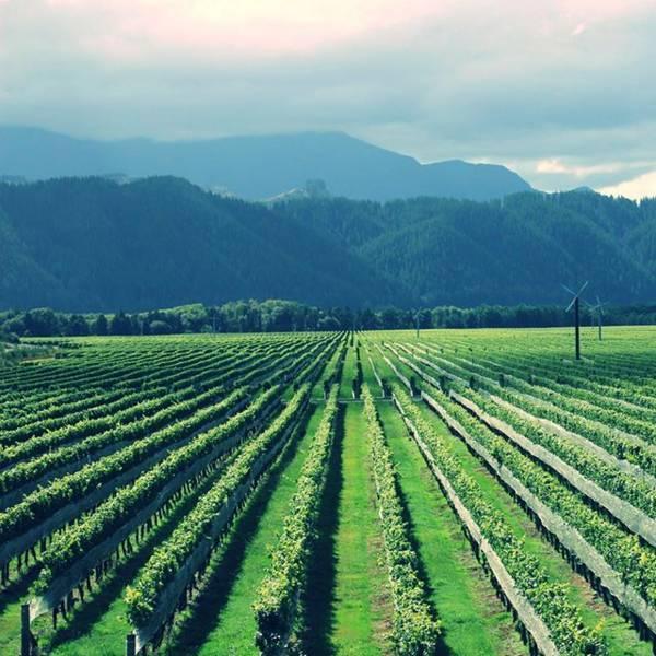 ネルソンのワイン畑(Nelson Vineyard)
