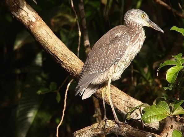 コスタリカの鳥