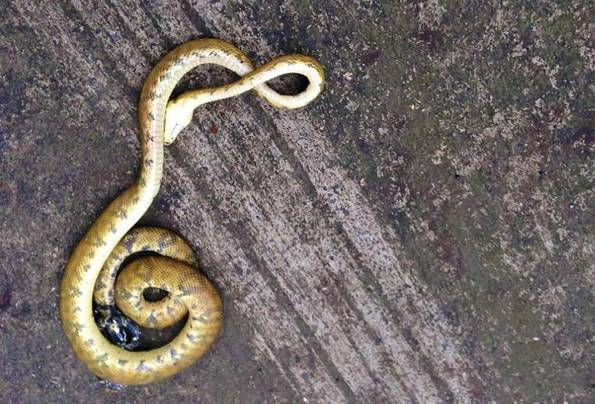 コスタリカの蛇