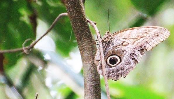 コスタリカの蛾
