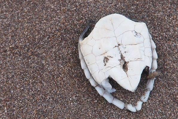 生き延びられなかったウミガメの赤ちゃん
