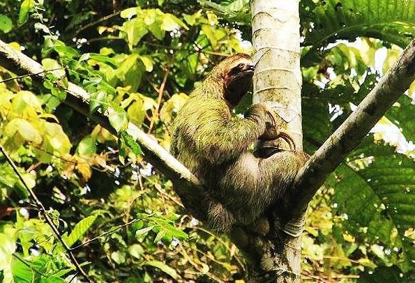 コスタリカのナマケモノ