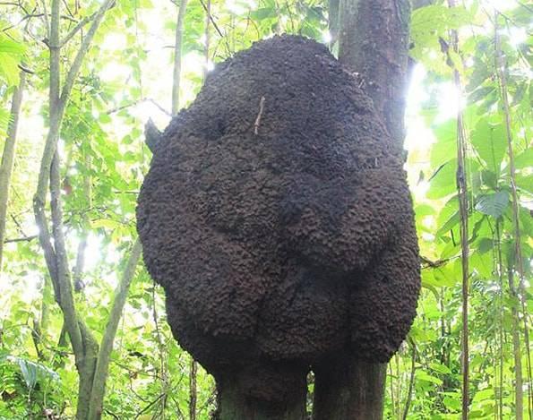 コスタリカの蟻の巣